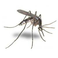 Large mosquito image