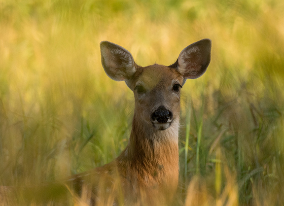 Close-up of a Doe in tall grasses