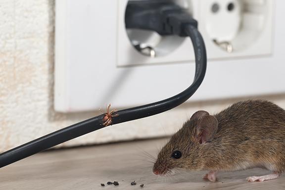 Mouse near a wall socket
