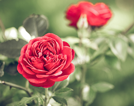 Beautiful red roses protected from Japanese Beetles